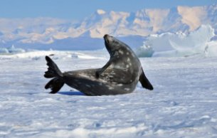 flippers_1_-_seal_on_ice