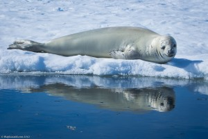 Weddell-seal-Antarctica-1-XL