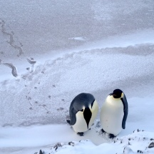 Emperor Penguins hangin' out.